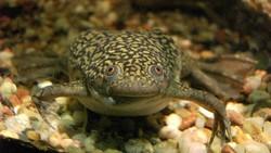 Mengenal Katak Badut, Amfibi yang Dulu Digunakan untuk Tes Kehamilan