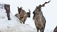 Pemburu Ini Rela Bayar Rp 1,5 Miliar Untuk Bunuh Kambing Gunung Langka