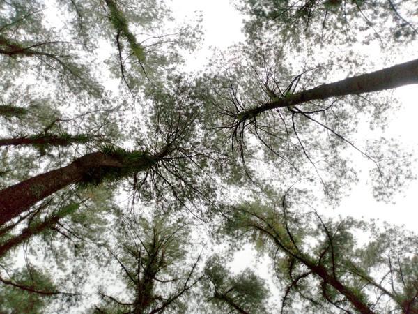Pengunjung dapat bermain-main dengan sinar matahari yang menelusup di antara pohon pinus. Indah banget kan! (Aji Kusuma/detikTravel)