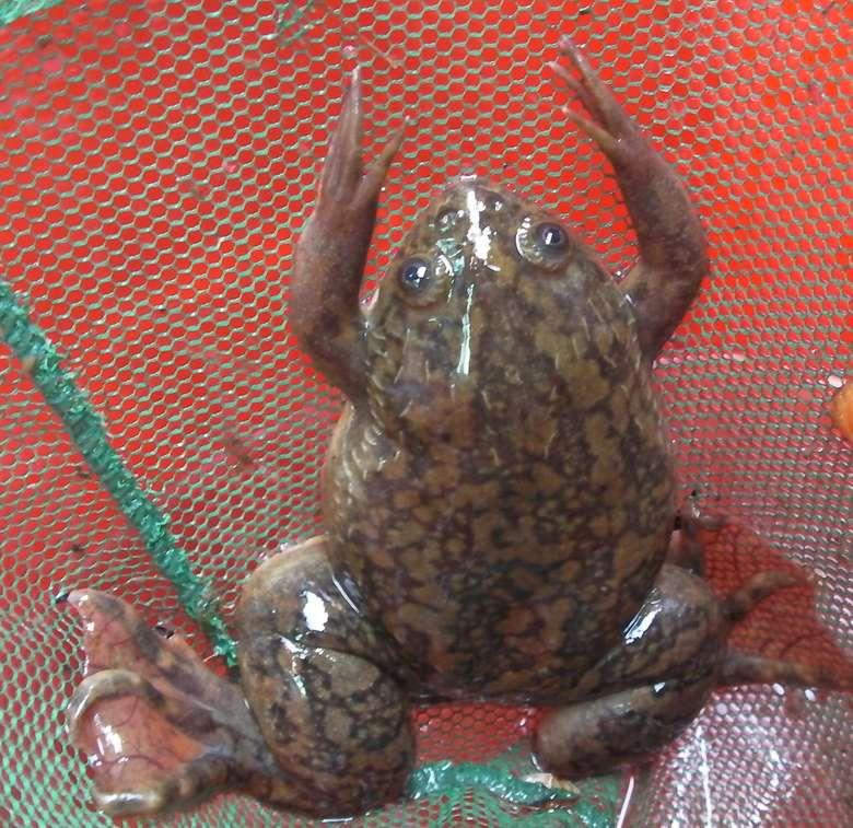 Eksperimen Hogben berujung temuan kalau urine wanita hamil juga bisa memicu katak badut untuk bertelur. (Foto: California Department of Fish and Wildlife/Wikimedia Commons)