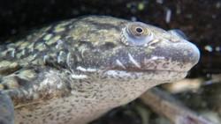 Katak badut (Xenopus laevis) adalah amfibi yang dulu terkenal diimpor ke berbagai negara untuk digunakan sebagai alat tes kehamilan. Kok bisa?