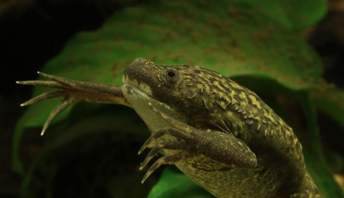 Dalam eksperimen Hogben menyuntikkan urine seorang wanita ke bawah kulit katak badut. Kalau wanita itu hamil dalam waktu 12 jam katak akan mulai menghasilkan telur. (Foto: H. Krisp/Wikimedia Commons)