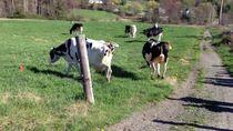 Belasan Sapi Perah Ini Melompat Karena Senang Melihat Rumput