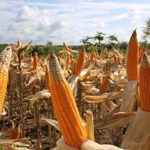 Panen Raya, Petani Minta Impor Jagung Disetop
