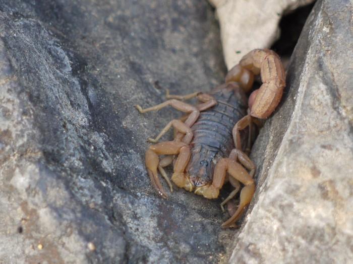 Sekilas tampak mirip dengan dua spesies kalajengking sebelumnya, hanya saja kalajengking ini memiliki ekor yang lebih tebal dan memiliki corak kemerahan. (Foto: Dinesh Valke/Wikimedia Commons)