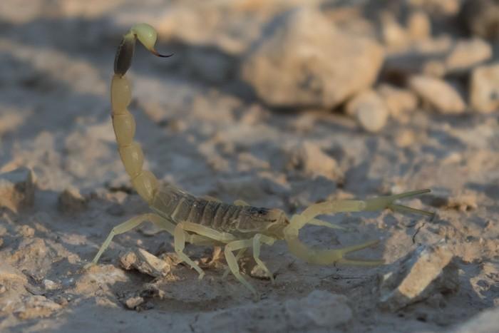 Selain kalajengking dari spesies Tityus, kalajengking Leiurus sp. juga disebut peneliti bisa menyebabkan priapism. (Foto: Minozig/Wikimedia Commons)