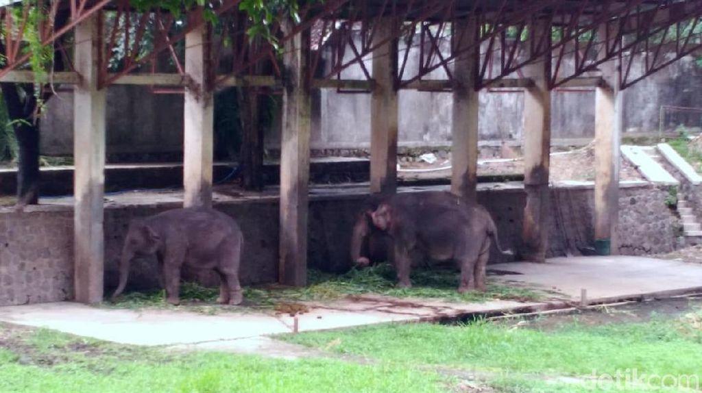 Seekor Gajah Jantan di Solo Zoo Mati, Penggantinya Sedang Dicari