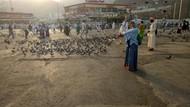 Cantiknya Merpati di Dua Kota Suci, Makkah dan Madinah