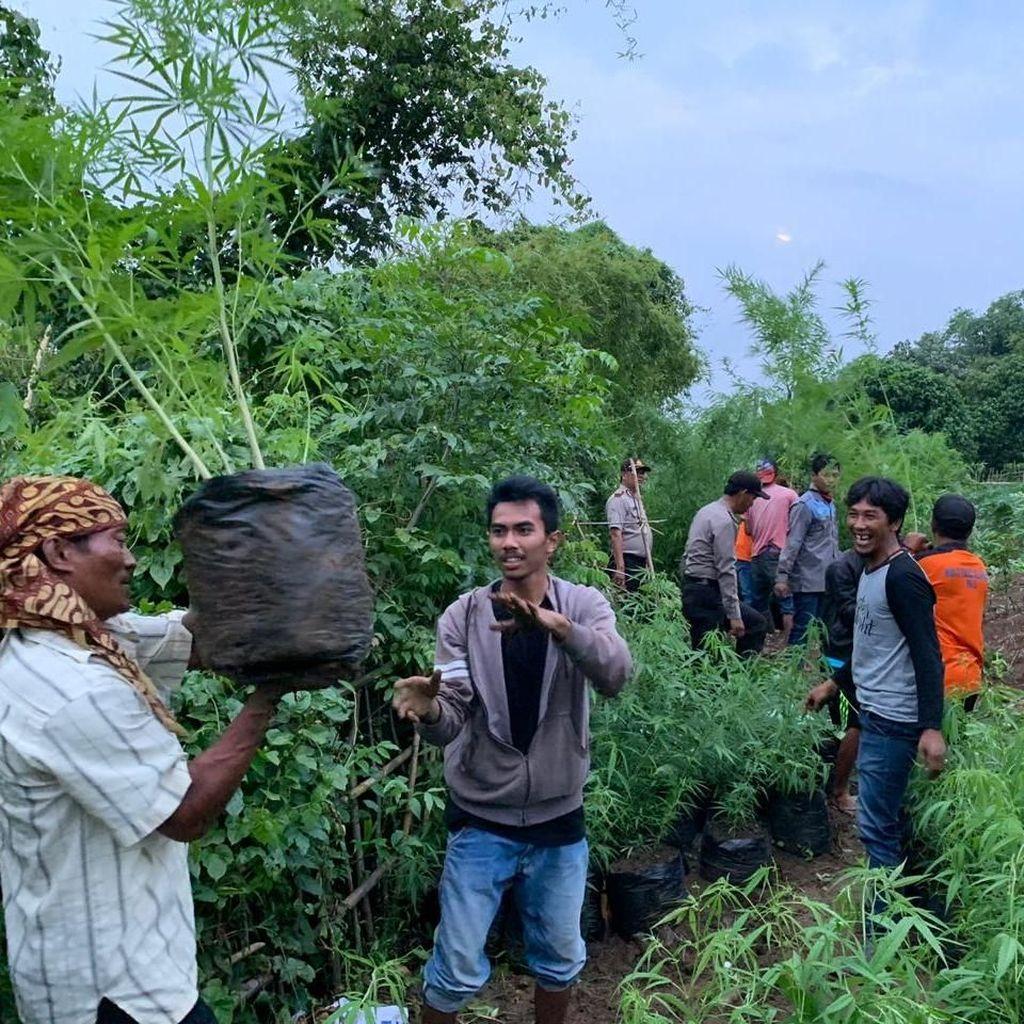 Warga Kaget Ada Ribuan Pohon Ganja di Lahan Perhutani Purwakarta