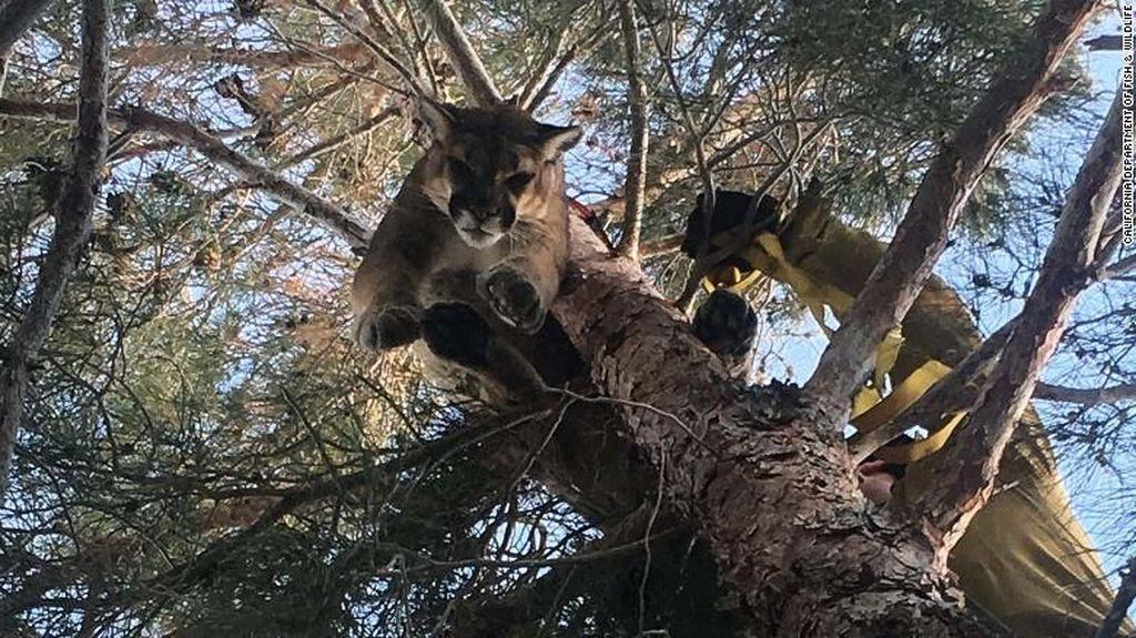 Singa Gunung Dievakuasi dari Pohon di Halaman Belakang Rumah Warga