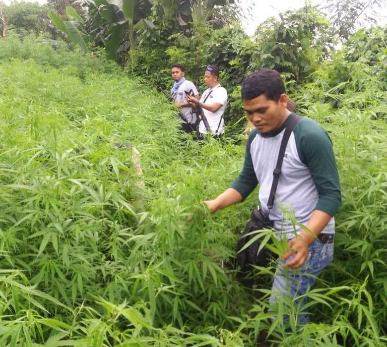 Geger Ladang Ganja 1,5 Hektare di Lahan Perhutani Purwakarta