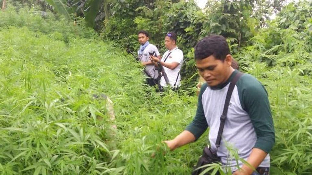 Cerita Kamuflase Ladang Ganja 1,5 Hektare di Purwakarta