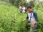 Ladang Ganja 1,5 Hektare di Purwakarta Ditanam Sejak Desember