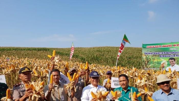 Panen jagung di Blora, Jawa Tengah (Foto: Arif Syaefudin/detikcom)