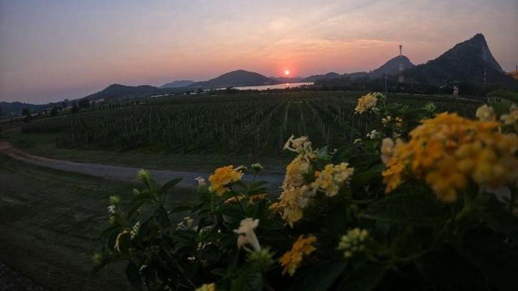 Bukan di Eropa, Kebun Anggur Ini Ada di Negara Tetangga