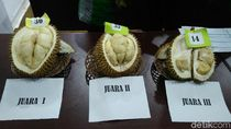 Perkenalkan! Ini Gajah Mada, si Raja Durian Baru 2019 dari Purworejo