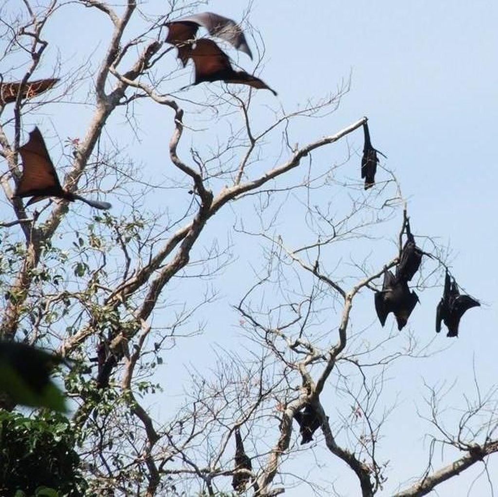 Aktivis Satwa Soroti Perburuan Kalong di Pangandaran