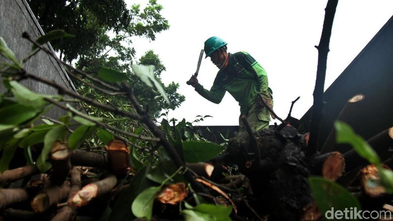 Dinas Kehutanan Pangkas Pohon Rindang untuk Cegah Pohon Tumbang