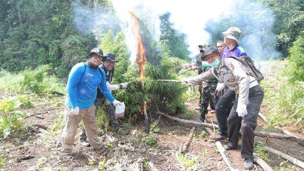 BNN memusnahkan ladang ganja seluas 1 hektar di Aceh Besar, Banda Aceh.