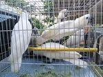 Sindikat Penyelundup Burung Langka ke Malaysia Ditangkap
