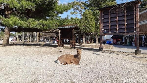 Di tempat ini banyak rusa. Masyarakat percaya bahwa rusa adalah pembantu dewa. Wisatawan dilarang untuk memberi rusa makan, karena sudah diurus pengelola (Bonauli/detikTravel)