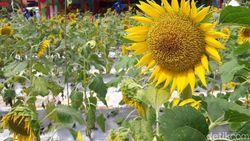 Keren! Tempat Buang Sampah di Bekasi Disulap Jadi Taman Bunga Matahari