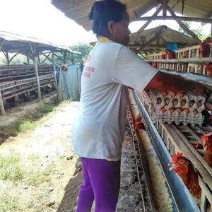 Prabowo Mau Pangkas Harga Telur, Peternak: Turunkan Dulu Harga Pakan