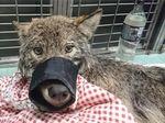 Dikira Anjing, Serigala Buas Diselamatkan dari Sungai Beku Estonia