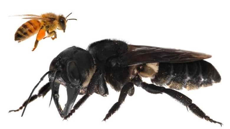 Kisah Di Balik Penemuan Kembali Lebah Terbesar Dunia Di Maluku