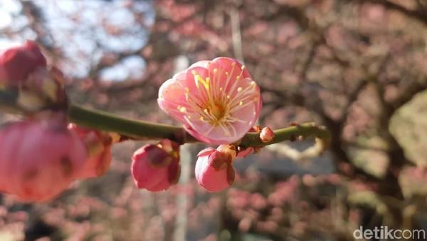 Taman bunga plum kebetulan sudah mekar di Bulan Februari. Mulai dari warna putih, pink sampai merah, merekah mempesona pengunjung taman ini. Cocok didatangi pengantin baru seperti Syahrini dan Reino (Bonauli/detikTravel)