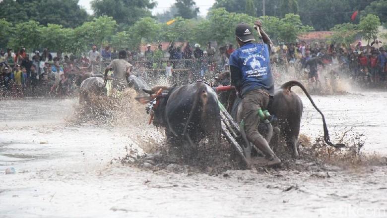 Kemeriahan kerapan sapi brujul oleh warga Tapal Kuda Jatim (M Rofiq/detikTravel)