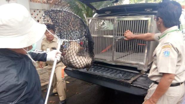 Diduga Gigit Warga, 2 Anjing Liar di Duren Sawit Ditangkap