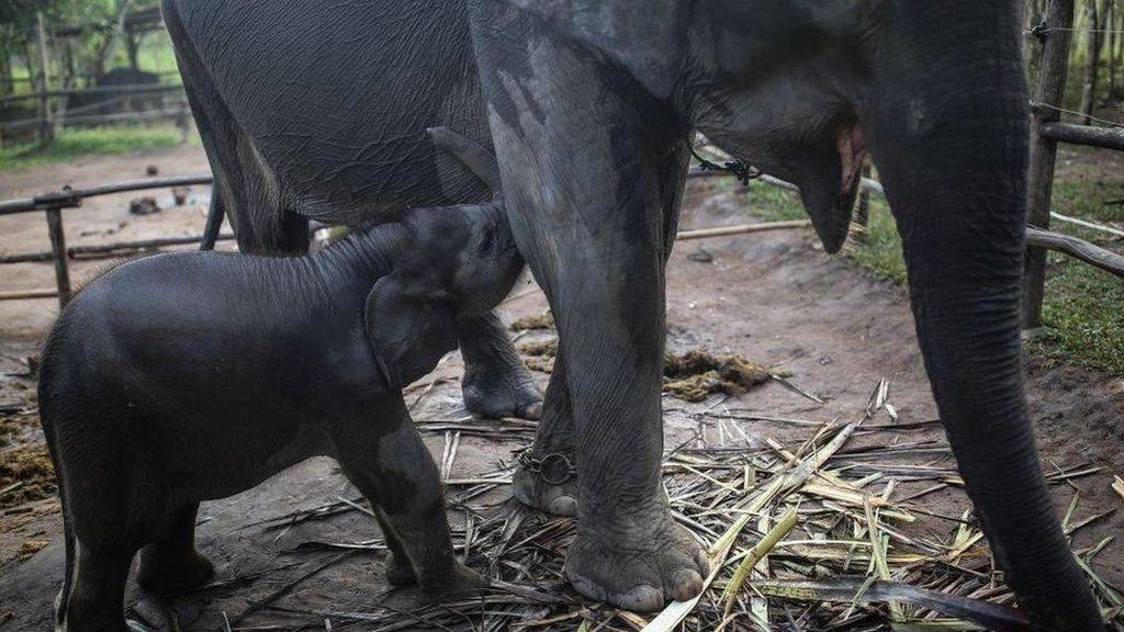 Gajah-gajah Remaja Saling Bunuh di Afrika karena Butuh Figur Ayah