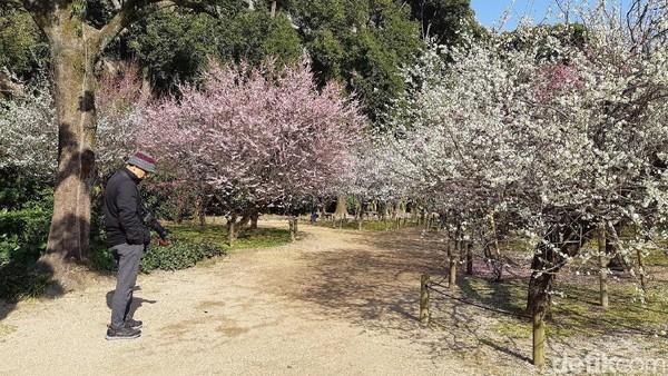 Taman ini dibagi menjadi berdasarkan koleksi tanaman. Sebut saja pohon sakura, plum, ginko, bambu sampai herbal. Yang paling populer adalah taman bunga plum dan sakura. Romantis banget! (Bonauli/detikTravel)