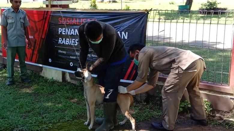 Vaksinasi hewan pembawa rabies di NTB (Harianto/detikTravel)