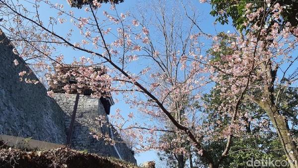 Kastil ini dikelilingi dengan 20 jenis pohon sakura. Sehingga pada bulan Februari-April, kastil ini akan tambah cantik dengan merekahnya pohon sakura. (Bonauli/detikTravel)