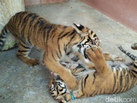 Dua Bayi Harimau Lucu Sapa Pengunjung Maharani Zoo