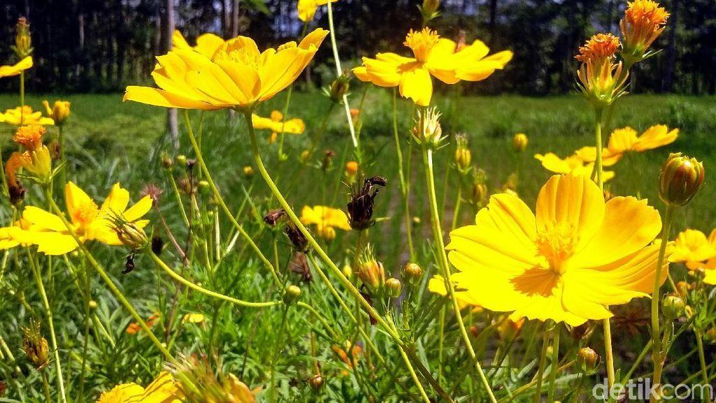 Bukan di Belanda, Ini Kebun Bunga di Bondowoso Lho