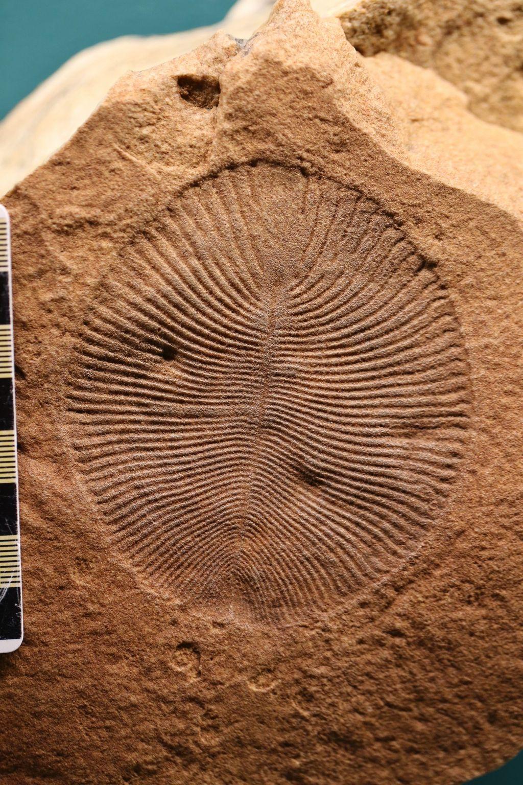 Dickinsonia sampai saat ini diketahui sebagai hewan paling tua dalam sejarah Bumi. (Gambar: University of Oxford)