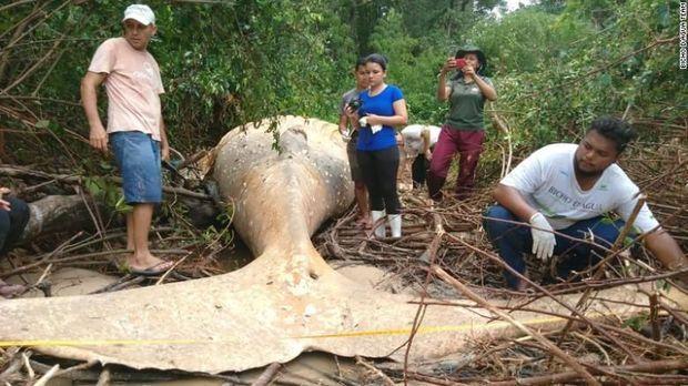 Para peneliti memeriksa bangkai paus raksasa itu