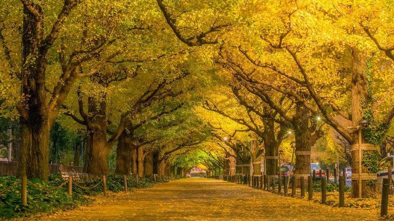 Meiji Jingu Gaien merupakan taman cantik yang dibangun Pemerintah Jepang untuk mengenang Kasir Meiji. Yang menjadi daya tarik lainnya adalah hamparan Pohon Giinko sepanjang 300 meter. Pohon ini di musim gugur, daunnya akan berubah warna keemasan (iStock)