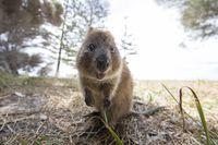 Quokka yang lucu di Rottnest Island (Tourism Western Australia)