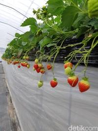 Selain amaotome dan red cheek, Akamatsu Farm juga punya jenis red pearl. Stroberi dengan jenis ini berbentuk lebih kecil dan merah. (Bonauli/detikTravel)