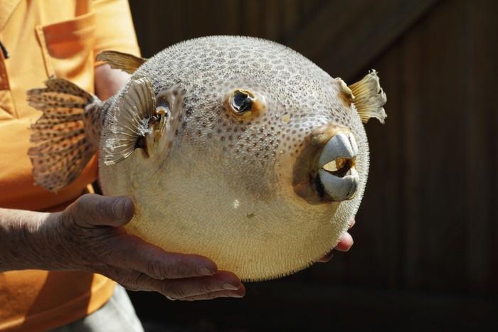 5 Jenis Ikan Ini Masuk Dalam Daftar Ikan Termahal Di Dunia