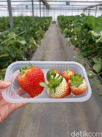Di kebun ini, traveler bisa makan stroberi sampai puas. Pengunjung akan diberi kotak plastik untuk meletakkan stoberi sekaligus untuk sampahnya (Bonauli/detikTravel)