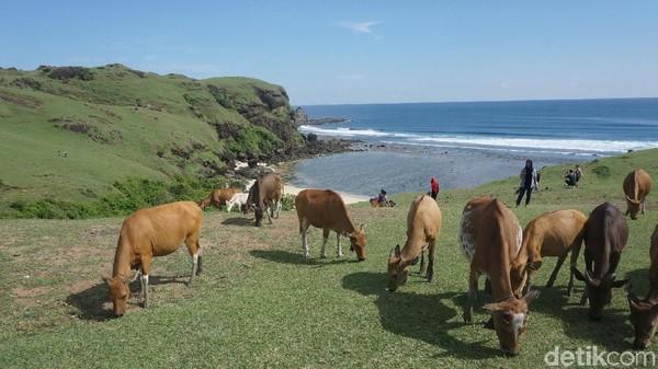 Wisatawan pun berbaur dengan hewan ternak di Bukit Merese. Awas terkena kotorannya ya! (Afif Farhan/detikTravel)