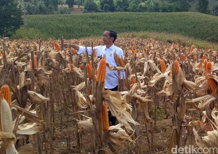 Presiden Joko Widodo (Jokowi) siang ini melakukan panen raya jagung seluas 1.392 hektare yang berada di Desa Botuwumbato, Kabupaten Gorontalo Utara dan Desa Motilangu di Kabupaten Gorontalo, Jumat (1/3/2019).