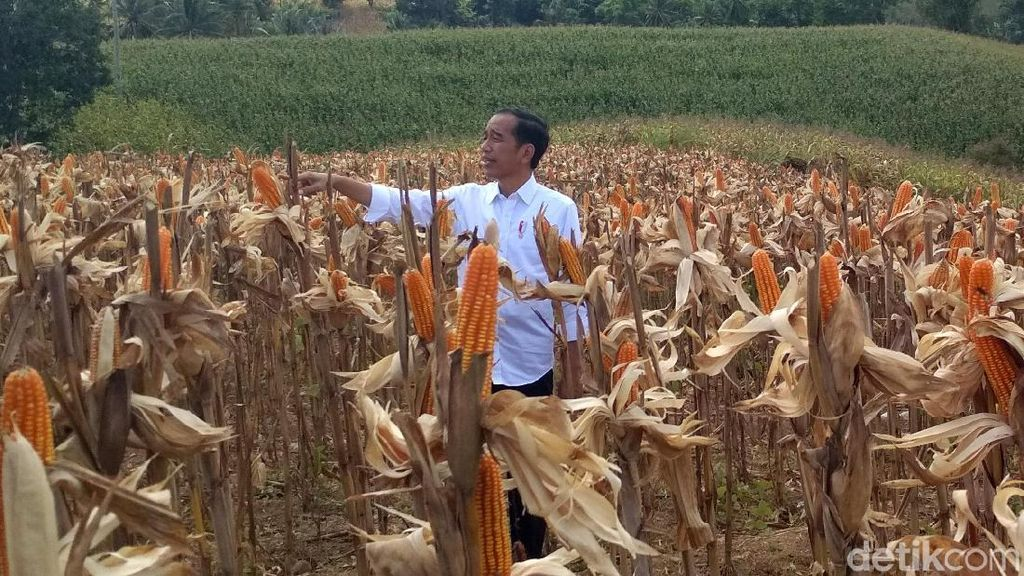 Pakai Kemeja Putih Lengan Digulung, Jokowi Panen Jagung