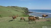 Bukit Merese berada di Lombok Tengah dalam kawasan Mandalika, sekitar 2 jam dari pusat Kota Mataram. Bukit hijau ini begitu elok dipandang dan sapi-sapi yang berkeliaran di sana, bikin pemandangannya seperti di Eropa saja (Afif Farhan/detikTravel)