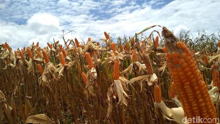 Jokowi melakukan panen raya jagung seluas 1.398 hektare yang berada di Gorontalo. Di sela acara itu, Jokowi ikut terjun langsung memanen jagung.